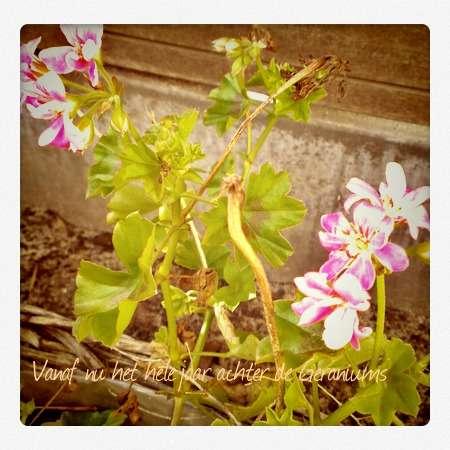 geraniumspl